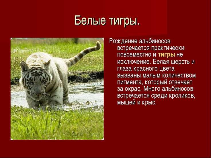 Белые тигры. Рождение альбиносов встречается практически повсеместно итигры...