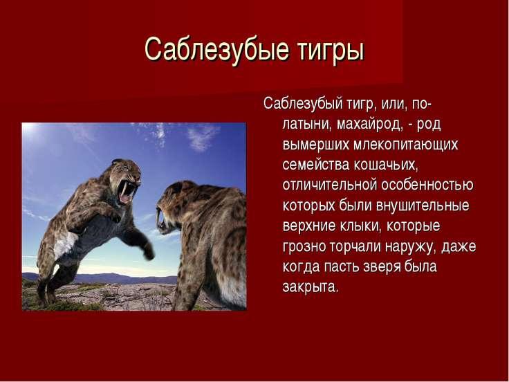 Саблезубые тигры Саблезубый тигр, или, по-латыни, махайрод, - род вымерших мл...