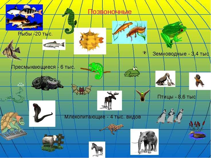 Позвоночные Млекопитающие - 4 тыс. видов Птицы - 8,6 тыс Земноводные - 3,4 ты...