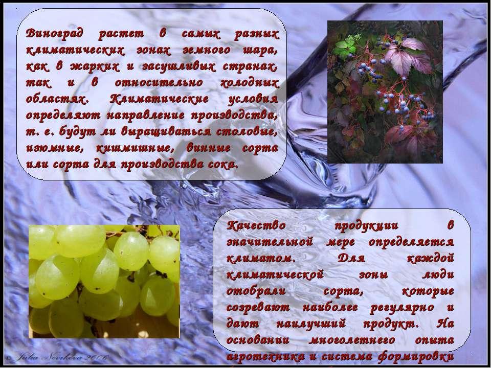 Виноград растет в самых разных климатических зонах земного шара, как в жарких...