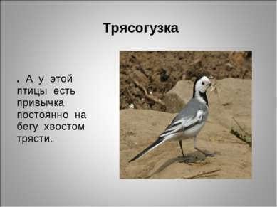 Трясогузка . А у этой птицы есть привычка постоянно на бегу хвостом трясти.