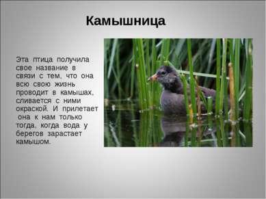 Камышница Эта птица получила свое название в связи с тем, что она всю свою жи...