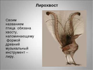 Лирохвост Своим названием птица обязана хвосту, напоминающему формой древний ...