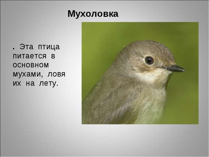 Мухоловка . Эта птица питается в основном мухами, ловя их на лету.