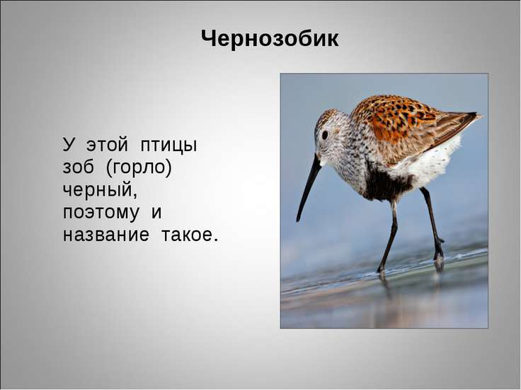 Чернозобик У этой птицы зоб (горло) черный, поэтому и название такое.