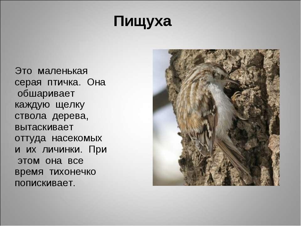Пищуха Это маленькая серая птичка. Она обшаривает каждую щелку ствола дерева,...