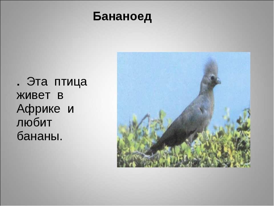 Бананоед . Эта птица живет в Африке и любит бананы.