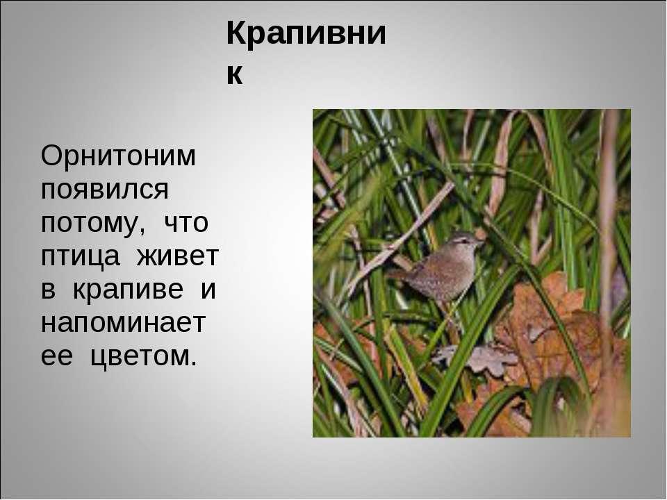 Крапивник Орнитоним появился потому, что птица живет в крапиве и напоминает е...