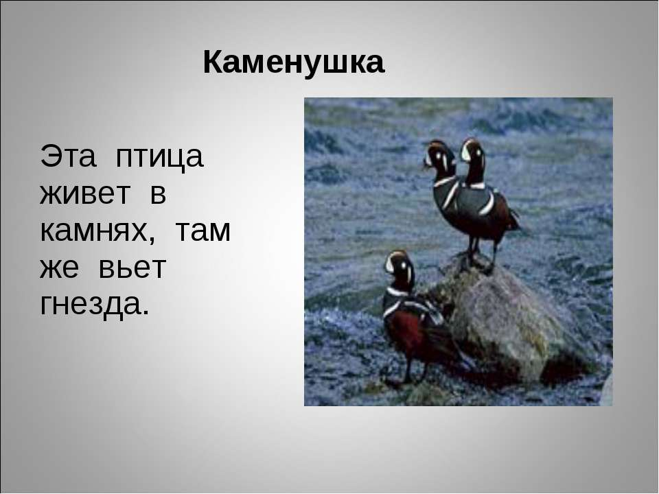 Каменушка Эта птица живет в камнях, там же вьет гнезда.