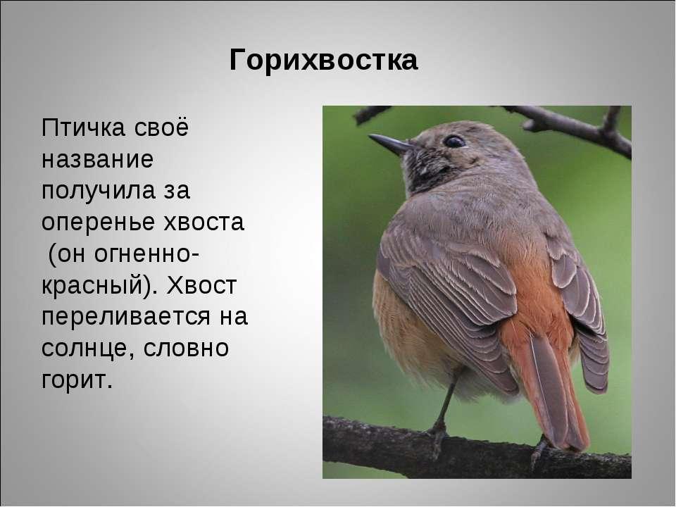 Горихвостка Птичка своё название получила за оперенье хвоста (он огненно-крас...
