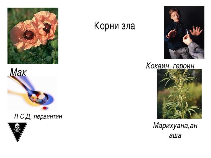 Марихуана,анаша Мак Кокаин, героин Л С Д, первинтин Корни зла