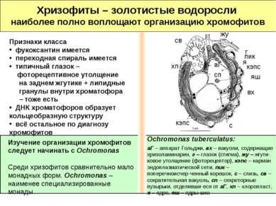 Хризофиты – золотистые водоросли наиболее полно воплощают организацию хромофи...