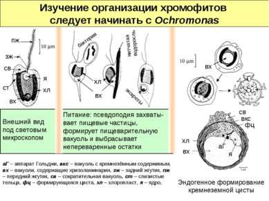 Внешний вид под световым микроскопом Питание: псевдоподия захваты-вает пищевы...