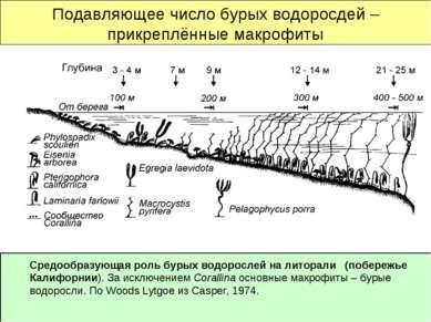 Подавляющее число бурых водоросдей – прикреплённые макрофиты Средообразующая ...