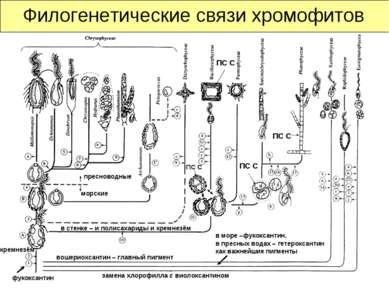 Филогенетические связи хромофитов ПС С ПС С ПС С замена хлорофилла с виолокса...