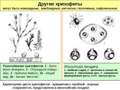 Другие хризофиты могут быть коккоидные, амебоидные, нитчатые, талломные, сифо...