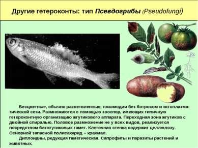 Другие гетероконты: тип Псевдогрибы (Pseudofungi) Бесцветные, обычно разветвл...
