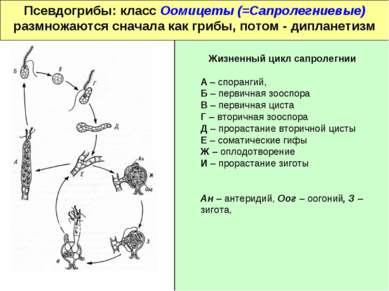 Псевдогрибы: класс Оомицеты (=Сапролегниевые) размножаются сначала как грибы,...