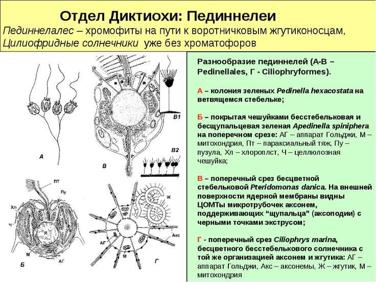 Отдел Диктиохи: Пединнелеи Пединнелалес – хромофиты на пути к воротничковым ж...