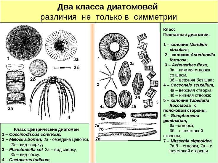 Два класса диатомовей различия не только в симметрии Класс Центрические диато...