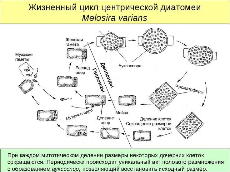 Жизненный цикл центрической диатомеи Melosira varians При каждом митотическом...