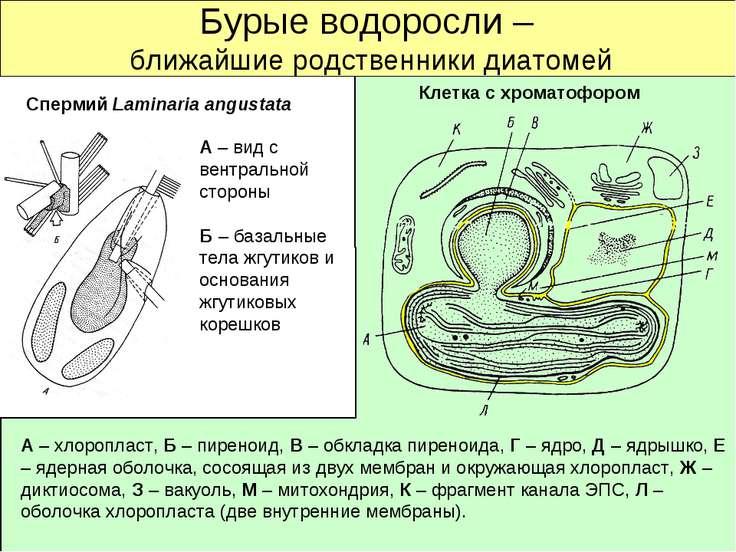 Бурые водоросли – ближайшие родственники диатомей Спермий Laminaria angustata...