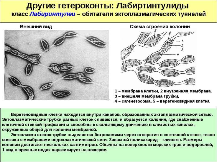 Другие гетероконты: Лабиртинтулиды класс Лабиринтулеи – обитатели эктоплазмат...