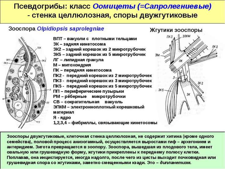 Псевдогрибы: класс Оомицеты (=Сапролегниевые) - стенка целлюлозная, споры дву...