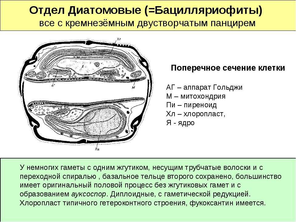 Отдел Диатомовые (=Бацилляриофиты) все с кремнезёмным двустворчатым панцирем ...