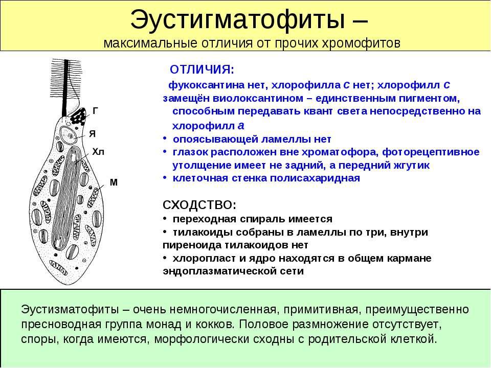 Эустигматофиты – максимальные отличия от прочих хромофитов ОТЛИЧИЯ: фукоксант...