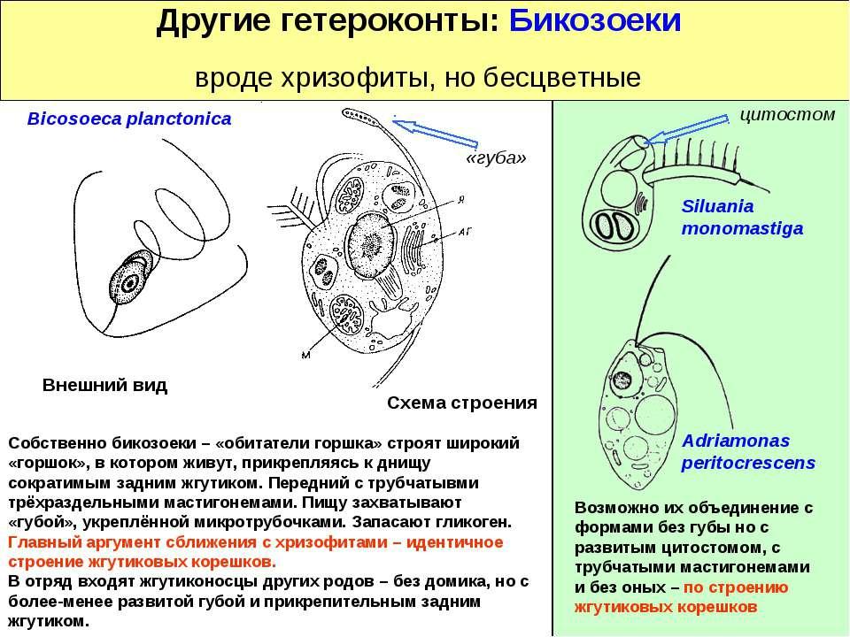 Другие гетероконты: Бикозоеки вроде хризофиты, но бесцветные Siluania monomas...