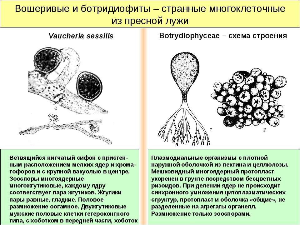 Вошеривые и ботридиофиты – странные многоклеточные из пресной лужи Плазмодиал...
