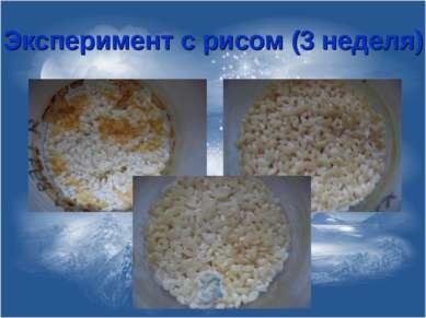Эксперимент с рисом (3 неделя)