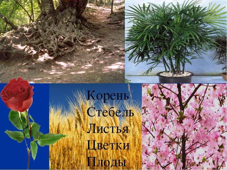 Корень Стебель Листья Цветки Плоды