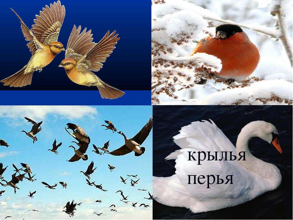 крылья перья