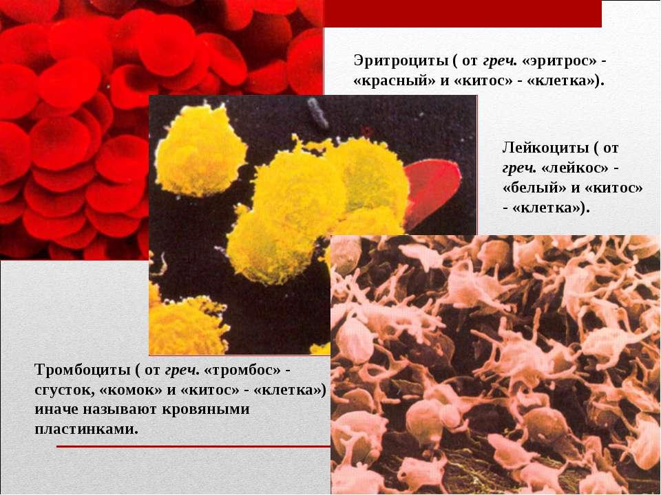 Эритроциты ( от греч. «эритрос» - «красный» и «китос» - «клетка»). Лейкоциты ...