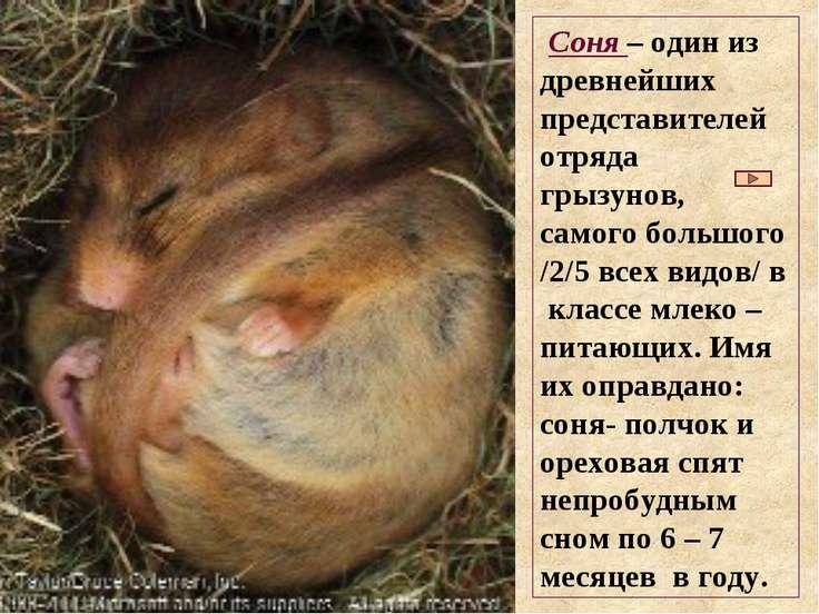Соня – один из древнейших представителей отряда грызунов, самого большого /2/...
