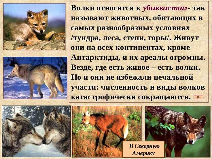 Волки относятся к убиквистам- так называют животных, обитающих в самых разноо...