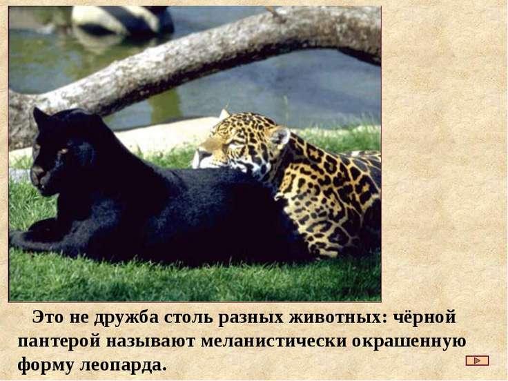 Это не дружба столь разных животных: чёрной пантерой называют меланистически ...