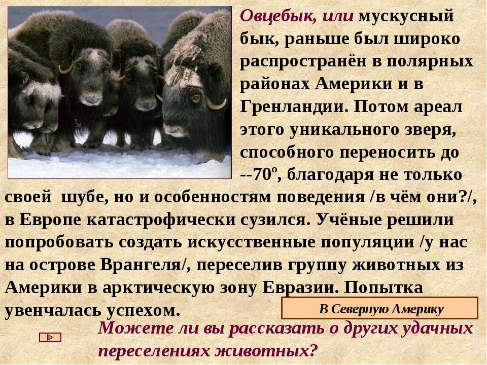 Овцебык, или мускусный бык, раньше был широко распространён в полярных района...
