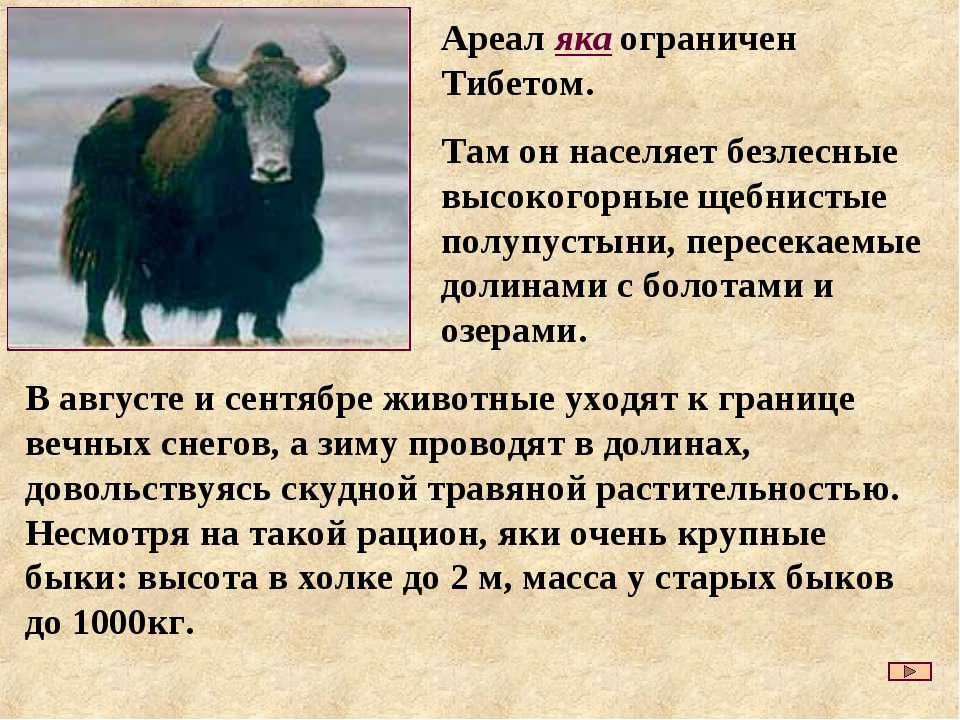 В августе и сентябре животные уходят к границе вечных снегов, а зиму проводят...