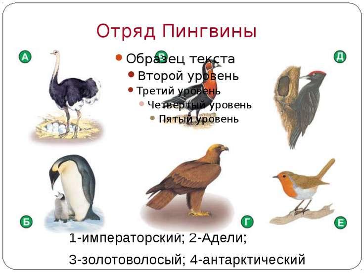 Многообразие птиц Отряд Пингвиныт пингвины: 1-императорский; 2-Адели; 3-золот...