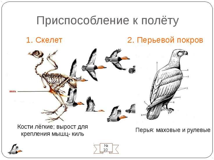 Приспособление к полёту 1. Скелет 2. Перьевой покров № 10 Перья: маховые и ру...