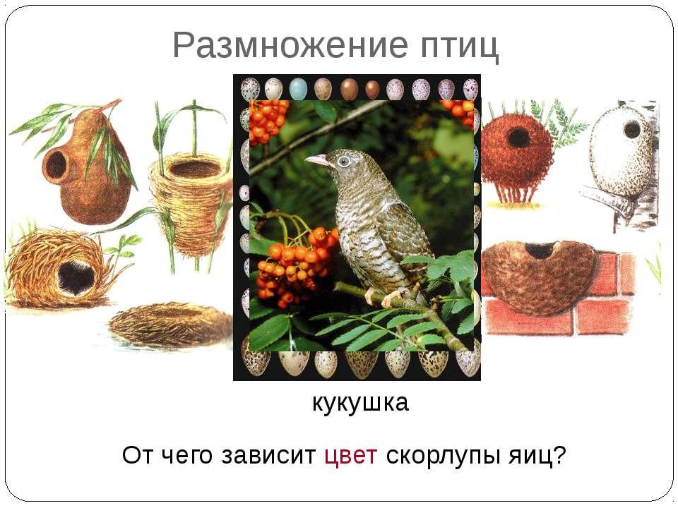 Размножение птиц Какая птица не строит гнезда? От чего зависит цвет скорлупы ...