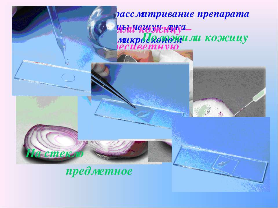 Приготовление и рассматривание препарата кожицы чешуи лука под микроскопом С ...