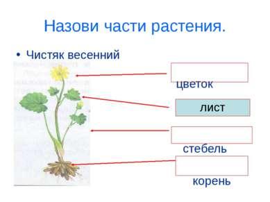 Назови части растения. Чистяк весенний цветок стебель корень лист