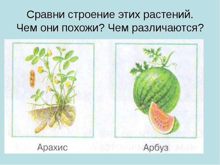 Сравни строение этих растений. Чем они похожи? Чем различаются?