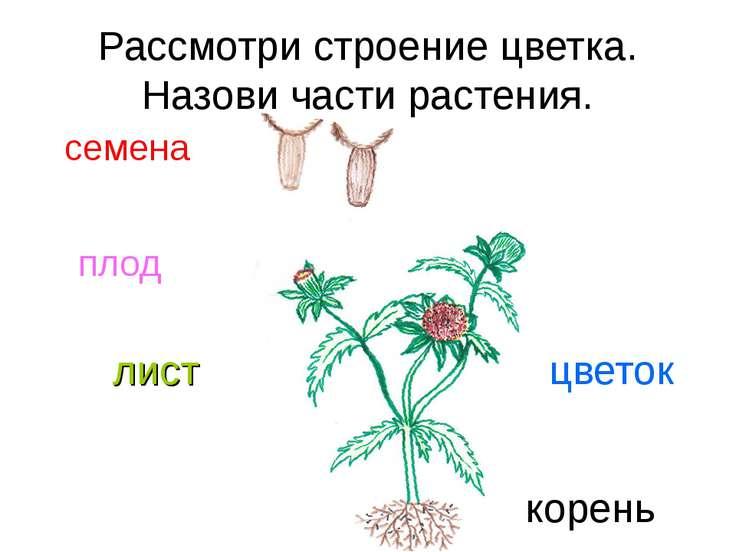 Рассмотри строение цветка. Назови части растения. семена плод лист цветок корень