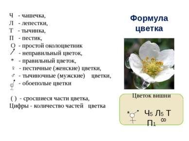 Формула цветка Ч - чашечка, Л - лепестки, Т - тычинка, П - пестик, О - просто...