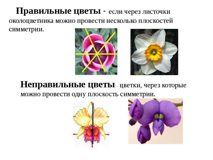 Правильные цветы - если через листочки околоцветника можно провести несколько...